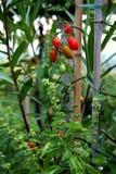 Pomodoro di ciliegia e pianta del basilico Fotografia Stock Libera da Diritti