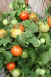 Pomodoro di ciliegia Homegrown Bush immagine stock