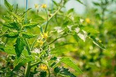 Pomodoro di fioritura nella serra Immagini Stock Libere da Diritti