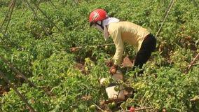 Pomodoro di Hand Picking Ripe dell'agricoltore in orto stock footage