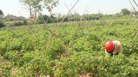 Pomodoro di Hand Picking Ripe dell'agricoltore in orto archivi video