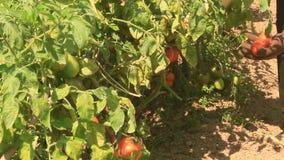 Pomodoro di Hand Picking Ripe dell'agricoltore in orto video d archivio