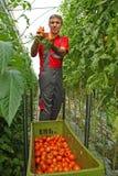 Pomodoro di raccolto Fotografia Stock