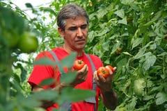 Pomodoro di raccolto del coltivatore Fotografia Stock