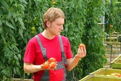 Pomodoro di raccolto del coltivatore Fotografie Stock Libere da Diritti