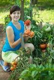 Pomodoro di raccolto della donna immagini stock