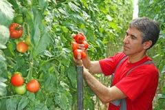 Pomodoro di raccolto della manodopera agricola Fotografia Stock