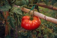 Pomodoro di rosso dell'orto Immagine Stock Libera da Diritti