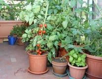 Pomodoro e pianta del basilico nel vaso sul terrazzo di una casa Immagine Stock