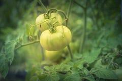 Pomodoro fantastico eccellente verde organico sulle viti dell'albero fotografia stock