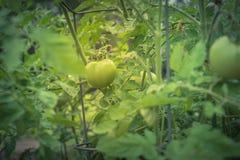 Pomodoro fantastico eccellente verde organico sulle viti dell'albero immagini stock libere da diritti
