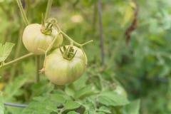 Pomodoro fantastico eccellente verde organico sulle viti dell'albero immagini stock