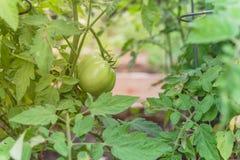 Pomodoro fantastico eccellente verde organico sulle viti dell'albero fotografia stock libera da diritti