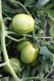 Pomodoro fresco del giardino fotografia stock libera da diritti
