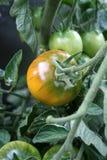 Pomodoro fresco del giardino fotografia stock