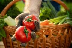 Pomodoro fresco in mani dell'agricoltore Fotografia Stock
