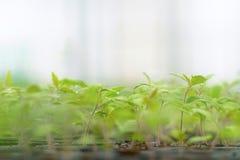 Pomodoro germogliato Foglie verdi conservate in vaso delle piantine del pomodoro Immagine Stock