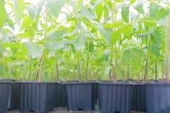 Pomodoro germogliato Foglie verdi conservate in vaso delle piantine del pomodoro Fotografie Stock Libere da Diritti