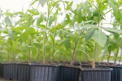 Pomodoro germogliato Foglie verdi conservate in vaso delle piantine del pomodoro Immagini Stock
