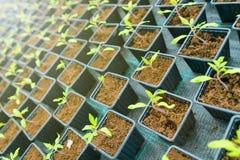 Pomodoro germogliato Foglie verdi conservate in vaso delle piantine del pomodoro Fotografia Stock