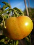 Pomodoro giallo Fotografie Stock