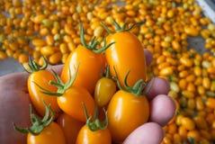 Pomodoro giallo a disposizione Immagini Stock