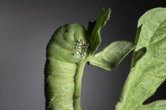 Pomodoro Hornworm Fotografie Stock