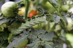 Pomodoro Hornworm orizzontale Immagini Stock Libere da Diritti