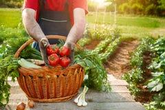 Pomodoro in mani dell'agricoltore Pomodoro della tenuta dell'agricoltore Fotografia Stock