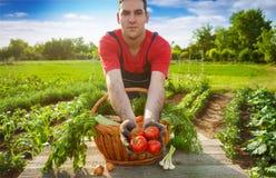 Pomodoro in mani dell'agricoltore Giovane pomodoro della tenuta dell'agricoltore Immagini Stock Libere da Diritti