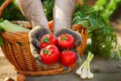Pomodoro in mani Raccolto del pomodoro Immagini Stock Libere da Diritti