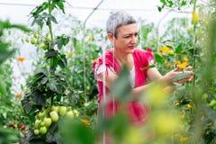 Pomodoro maturo di raccolto della donna in serra immagine stock