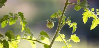 Pomodoro non maturo della vite Fotografie Stock Libere da Diritti