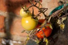 Pomodoro non maturo in primavera Fotografia Stock