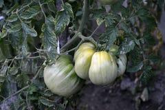 Pomodoro organico dalla Macedonia Fotografie Stock Libere da Diritti