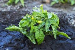 Pomodoro precoce del giovane cespuglio con i fiori e le bacche su fango bagnato fotografia stock libera da diritti