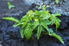 Pomodoro precoce del giovane cespuglio con i fiori e le bacche su fango bagnato fotografia stock