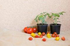 Pomodoro: prima e dopo: pianta e un friut Immagini Stock Libere da Diritti