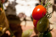 Pomodoro in primavera Immagine Stock