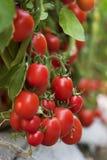 Pomodoro quasi al raccolto Fotografia Stock