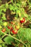 Pomodoro rosso e verde che cresce nell'orto Fotografie Stock Libere da Diritti
