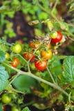 Pomodoro rosso e verde che cresce nell'orto Immagine Stock