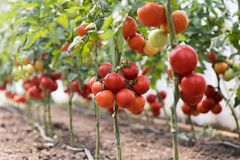 Pomodoro rosso maturo nel giardino della serra immagine stock