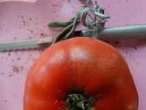 Pomodoro rosso sul rosa fotografia stock