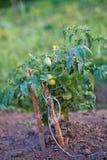 Pomodoro, solanum lycopersicum, pianta di pomodori con i fiori Un giovane cespuglio dei pomodori nel giardino dopo la pioggia Fotografie Stock Libere da Diritti