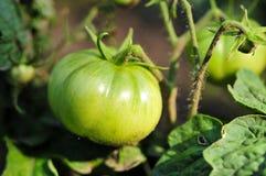 Pomodoro verde Immagini Stock Libere da Diritti