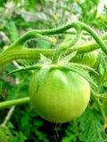 Pomodoro verde Fotografie Stock