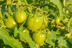 Pomodoro verde fresco una crescita Fotografia Stock