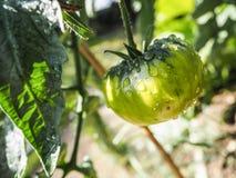 Pomodoro verde non maturo nel sole di primo mattino e coperto in rugiada Immagine Stock Libera da Diritti