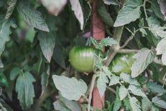 Pomodoro verde Volumi verdi Lo spet del pomodoro Fotografia Stock
